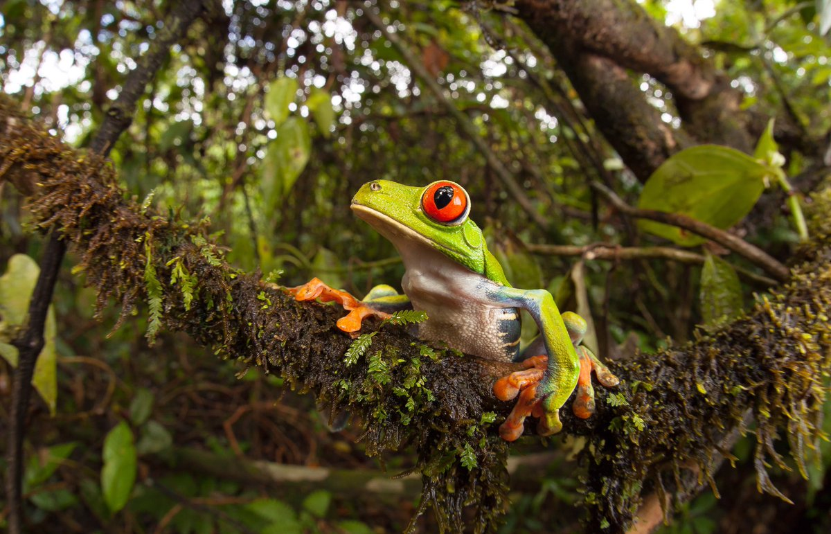 Red Eyed Green Tree Frogs In Belize Belize Budget Suites